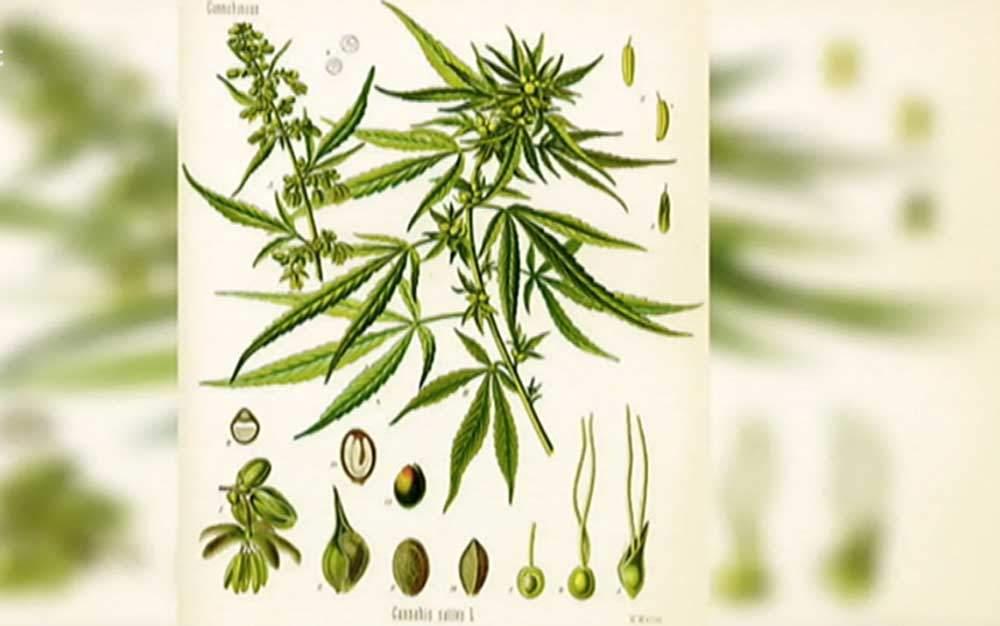 Cannabis-lateinisch